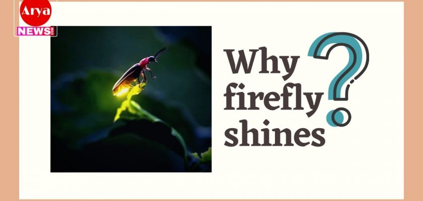 Why firefly shines?